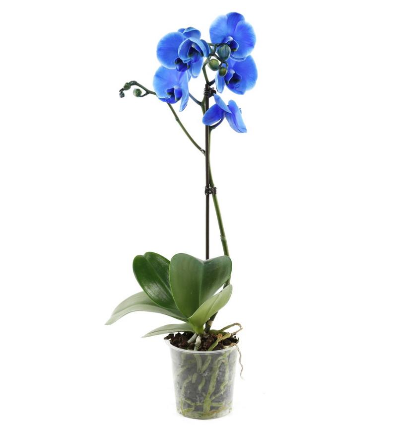 Tekli Mavi Orkide