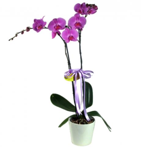 2 Köklü Mor Orkide